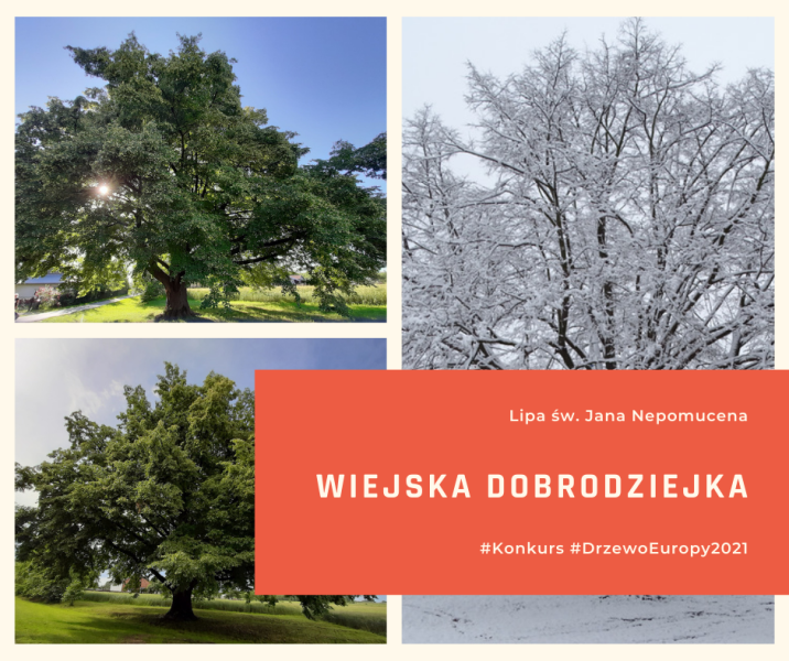 Drzewo Lipa Wiejska Dorodziejka